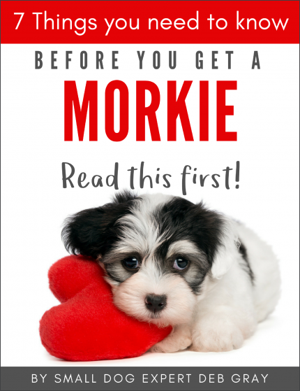 7 things you need to know before you get a Morkie